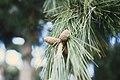 CSIRO ScienceImage 1459 Pine Cones.jpg