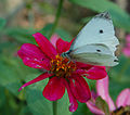 Cabbage White Butterfly Pieris rapae Flower 1700px.jpg