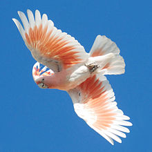Cacatua leadbeateri -flying -Australia Zoo-8-2cr.jpg
