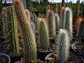 Cactaceae in iran- mahallat city کاکتوس های گلخانه های محلات- ایران 20.jpg