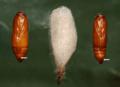 Cactoblastis cactorumIB0008-2.png