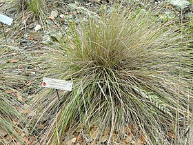 Calamagrostis ophitidis - University of California Botanical Garden - DSC09045.JPG