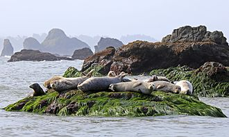 California Coastal National Monument - Harbor seals resting on surf grass, in sight of some of the many rocks protected by the California Coastal National Monument