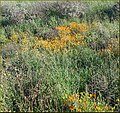 California Wildflowers, Crafton Hills 3-10-13aa (8552664082).jpg