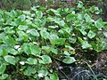 Calla palustris 7869.jpg