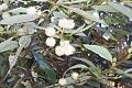 Callicoma serratifolia Elvina Bay.jpg
