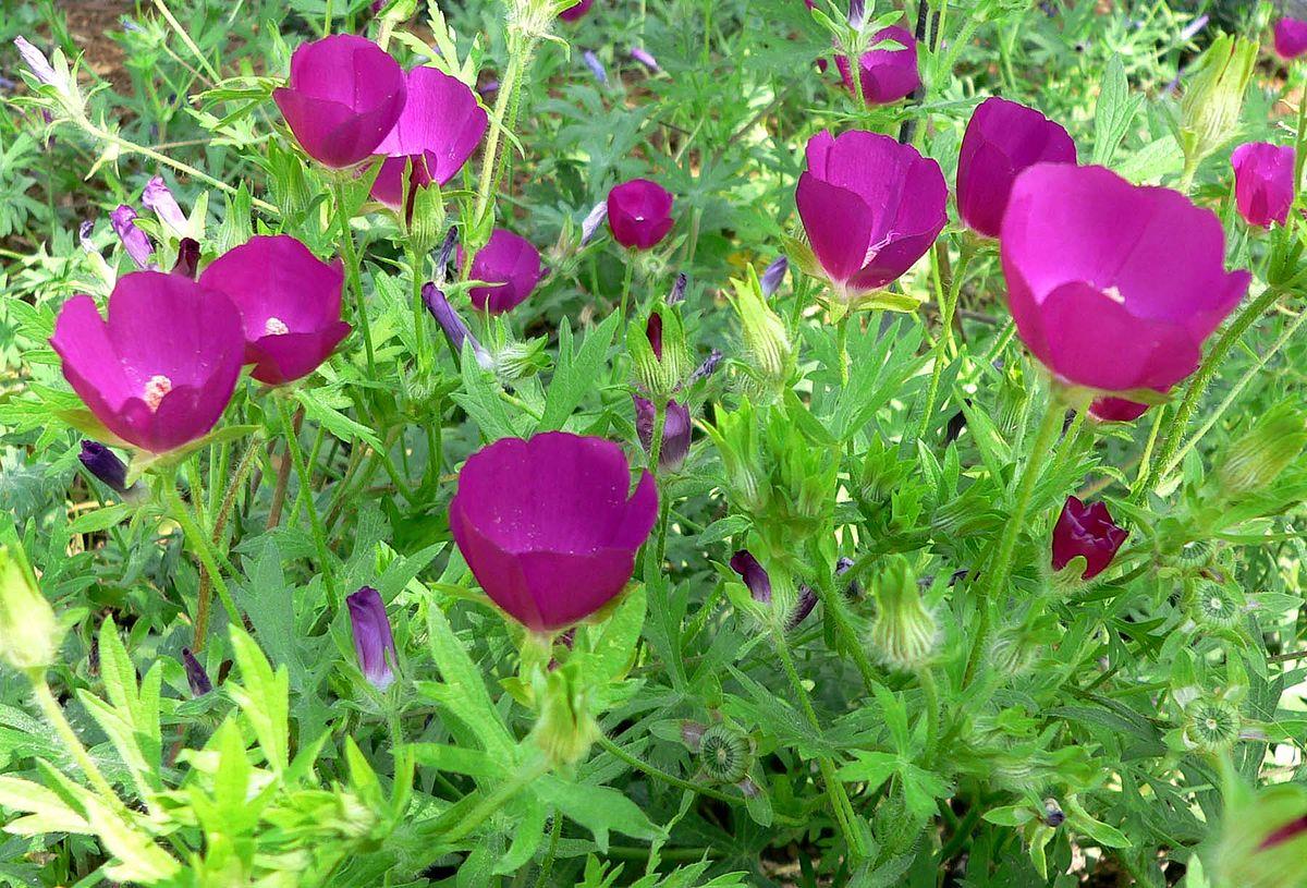 Callirhoe plant wikipedia mightylinksfo