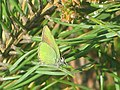Callophrys rubi - Green hairstreak - Малинница (27164069958).jpg