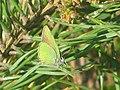 Callophrys rubi - Green hairstreak - Малинница (27164069958).jpg