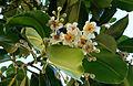 Calophyllum InophyllumUofHawaii Manoa.jpg
