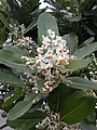 Calophyllum inophyllum. 瓊崖海棠.jpg