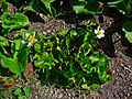 Caltha palustris alba 02.JPG