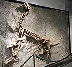 Camarasaurus lentus (26832229619).jpg