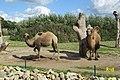 Camelus bactrianus in Dierenpark Zie-ZOO (4).jpg