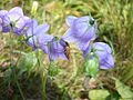 Campanula rotundifolia, backside with insect.jpg