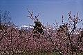 Canigou durch Pfirsichblüten (K0515).jpg