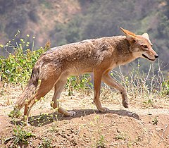 https://upload.wikimedia.org/wikipedia/commons/thumb/a/af/Canis_latrans.jpg/240px-Canis_latrans.jpg