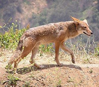 Jackal - Canis latrans