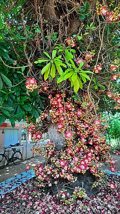 CanonBall tree with flowers panmana kollam.jpg