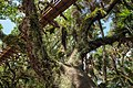 Canopy Walk Oak (39671632922).jpg