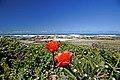 Cape Agulhas Dune Fynbos - Overberg, South Africa (3919317430).jpg