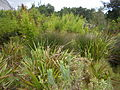 Cape Lowland Freshwater Wetland South Africa 6 restios and grasses.JPG