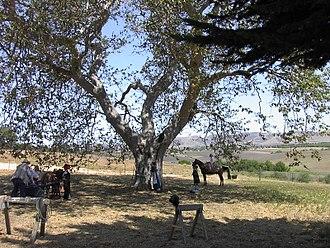 Nipomo, California - Image: Capt Dana Tree Nipomo