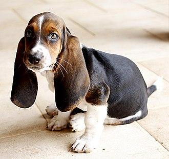 Puppy - Basset Hound puppy