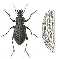 Carabus variolosus.jpg