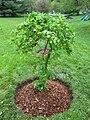 Caragana arborescens 'Pendulua'--weeping Siberian pea tree.JPG