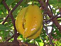 Carambola - star fruit - panoramio.jpg