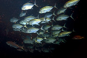 Caranx - A school of Pacific crevalle jack, Caranx caninus in Panama