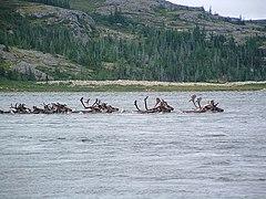 Caribou traversant la rivière aux Feuilles.jpg