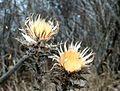 Carlina vulgaris ENBLA03.JPG