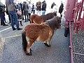 Carpentras - foire de la Saint Siffrein 2015 - foire aux chevaux 13.JPG