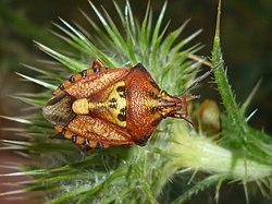 Carpocoris mediterraneus2.jpg