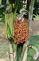 Caryota urens, the Fire Palm (14230039817).jpg
