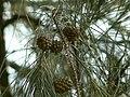 Casuarina equisetifolia (2094902369).jpg