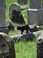 Cat among Gravestones - Jewish Cemetery - Wschodnia Street - Bialystok - Poand (35466375193).jpg