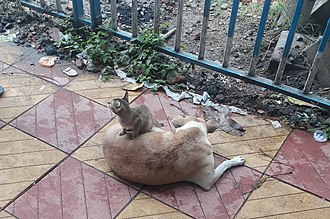 Dog–cat relationship - A kitten is taking rest on the back of a street dog