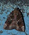 Catocala innubens – Betrothed Underwing Moth (14644791657).jpg