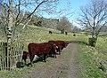 Cattle on the track, Arlington - geograph.org.uk - 1824801.jpg