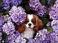 Cavalier King Charles Spaniel Floral.jpg