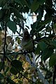 Cedar Waxwing (Bombycilla cedrorum) - Saskatoon, Saskatchewan.jpg