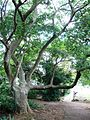 Celtis africana tree - Trunk and branches.JPG