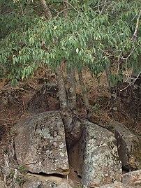 Celtis australis 20130816.jpg