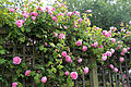 Cemetery pink rose trellis at Theydon Bois, Essex, England 02.JPG
