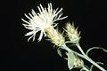 Centaurea diffusa APHIS.jpg