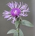 Centaurea sp. 02.jpg