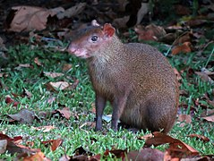 240px central american agouti   flickr   treegrow (1)